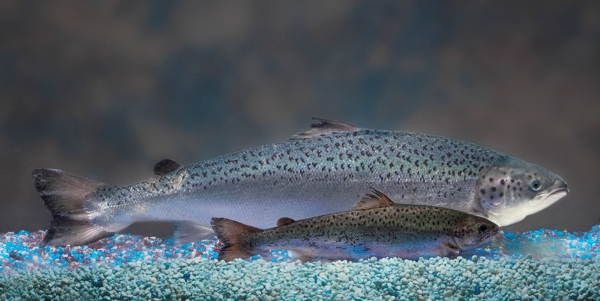Why GMO Salmon is Scary
