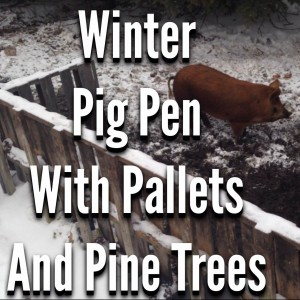 Winter Pig Pen with Pallets and Pine Trees