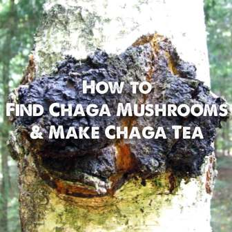 How to find chaga mushrooms and make chaga tea